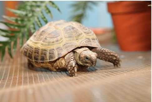 Черепаха в продаже черепашка