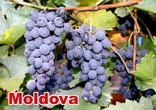 Butasi Vita de Vie Moldova Si Alte Soiuri In Comentariu
