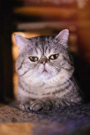 кот американсий экзот (с родословной) ищет подругу для вязки