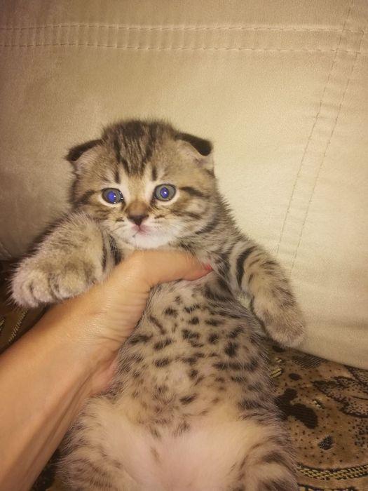 Шотландские котята Костанай - изображение 1