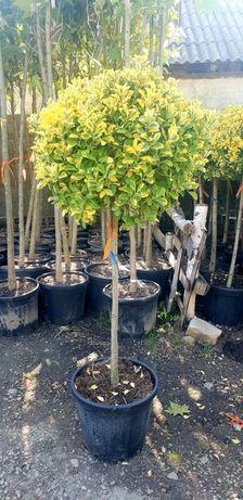 Vindem Evoniumus tufă și copacel