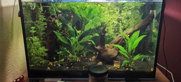 Аквариумни растения и охлюви ампулария
