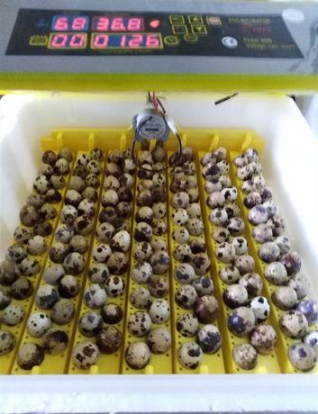 Оплодени пъдпъдъчи яйца