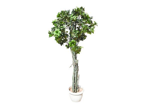 Рододендрон с преплетено стъбло