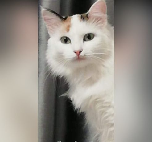 Кошечка породы Турецкий Ван стерелизована