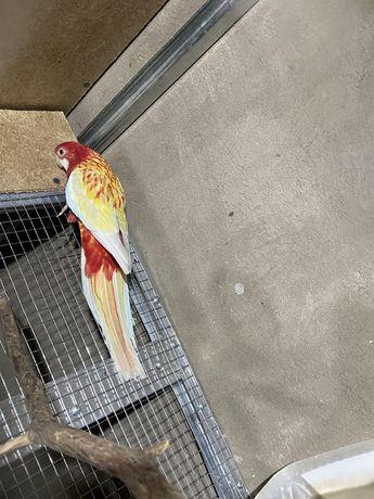Продается попугай разелла