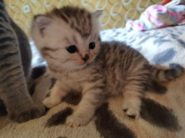 Продам котика чистокровыный
