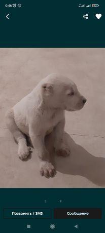 Срочно продам щенков САО тобет