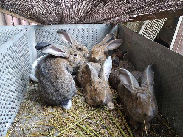 Продам кроликов породы серый великан