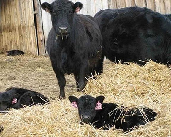 Продажа Ангус симментал Крс белоголовые бычки телята мрс герефорд
