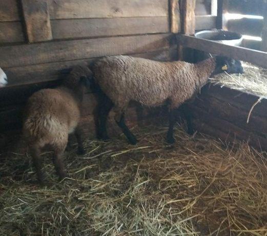 Продам овечку с ягненком