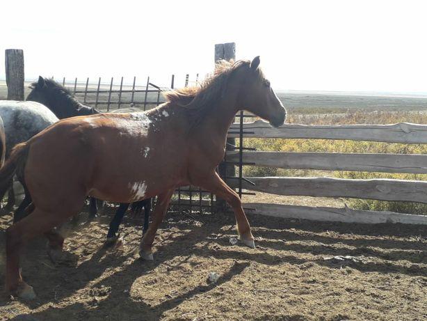 Продам коня обученного к верховой езде
