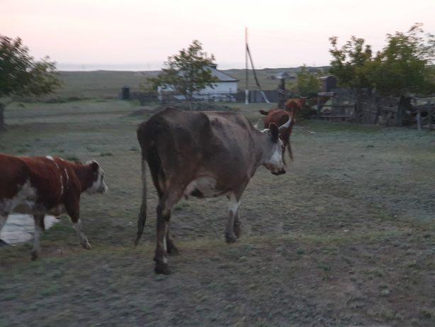 Продам коров 3 головы