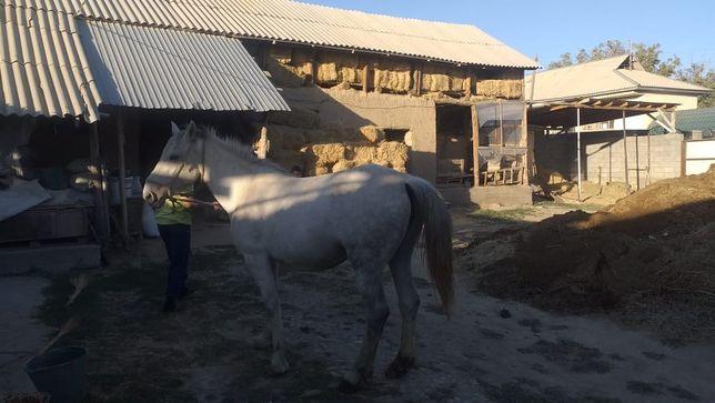 Продам белую лошадь