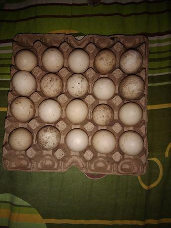 Яйцо Утиное пищевое