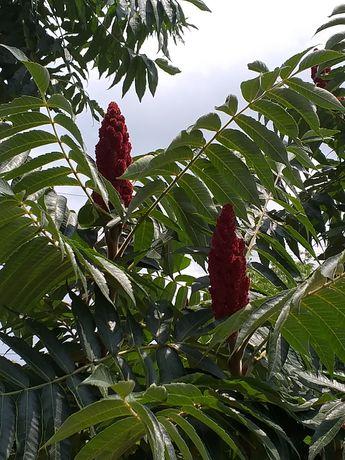 Vand pomi de oțetar roșu
