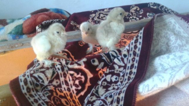 Цыплята брама изабелла