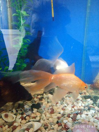 Золотые рыбки разного окраса