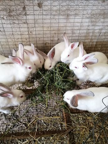 Vând iepuri rasa de carne