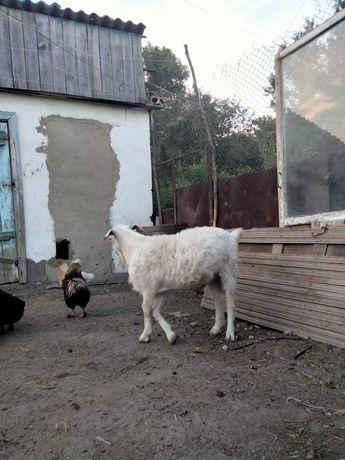 Продам коз .Ешкы сатам
