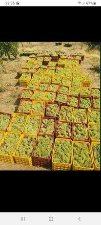 Vand struguri de vin diferite soiuri