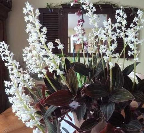 Редкая разновидность орхидей - ОРХИДЕЯ Драгоценная (Лудизия).