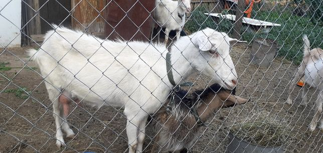 Срочно.Торг.Продам козу зааненской породы.