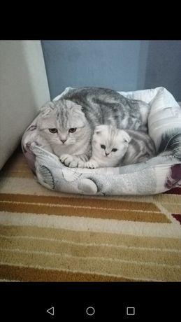 Котята мраморные шотландские!