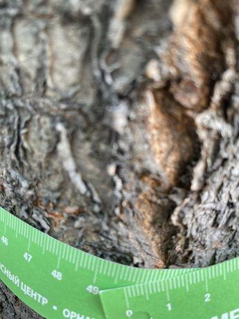 Черешня дерево под спил