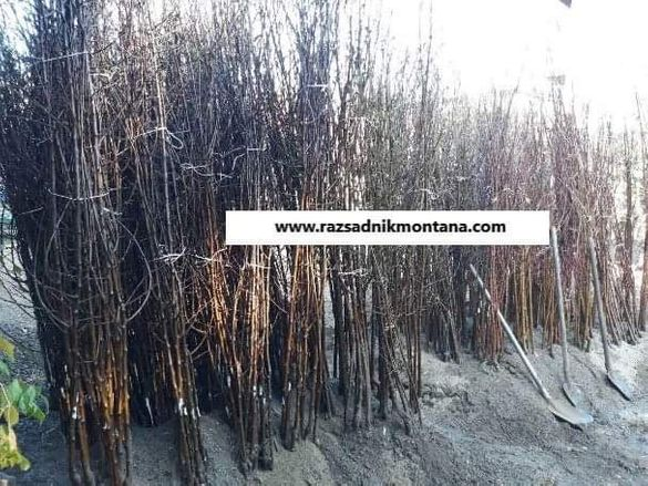 Сливи Стенлей - ЗДРАВЕН ПАСПОРТ дръвчета , разсадник , овошки, разсад