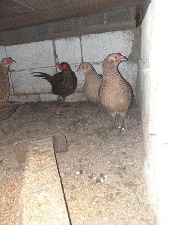Fazani!!25 găini si 5cocosi disponibili!!!