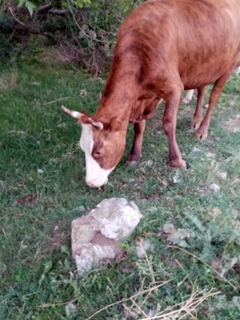 Продам корову  2 м отелом теленку 1 месяц