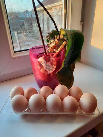 Продаётся домашнее яйцо