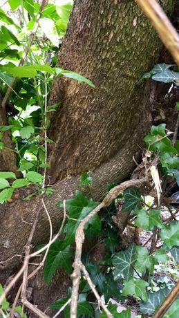 Чемшир , дървен материал за дърворезба