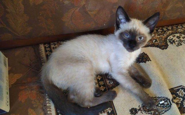 Сиамский котенок в добрые руки