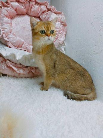 ласковый котик золотой британский