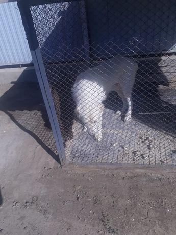 Алабай 1.5 года аю. Хороший пёс