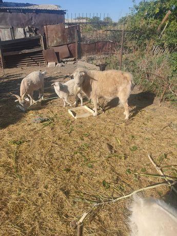 Продам коз сукотые