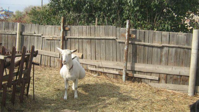 Продам дойную козу,доится