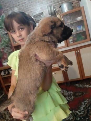 Продам щенков срочно мама на фото