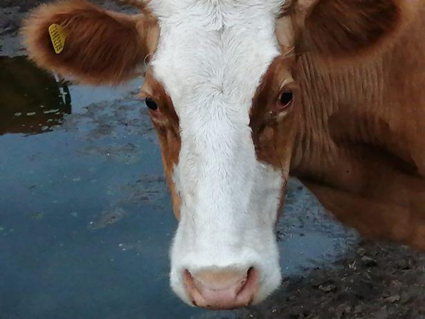 Продам корову за 350 000