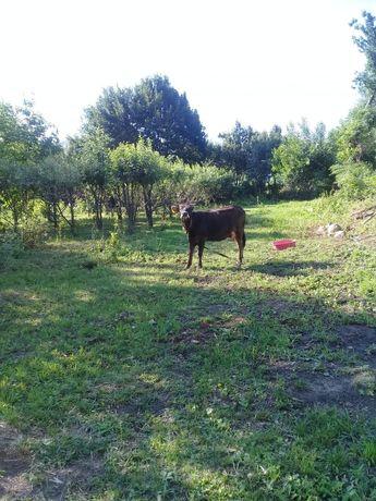 Корова продаётся