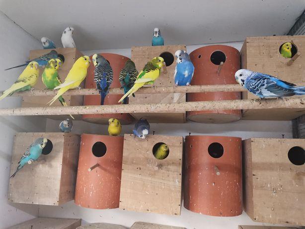 Vând papagali peruși