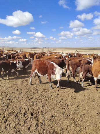 Продаю коровы порода герефорд с подсосом