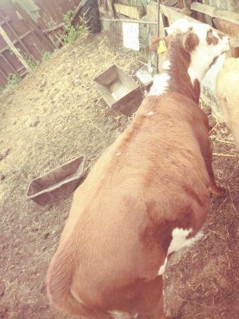 Продам теленка , недорого