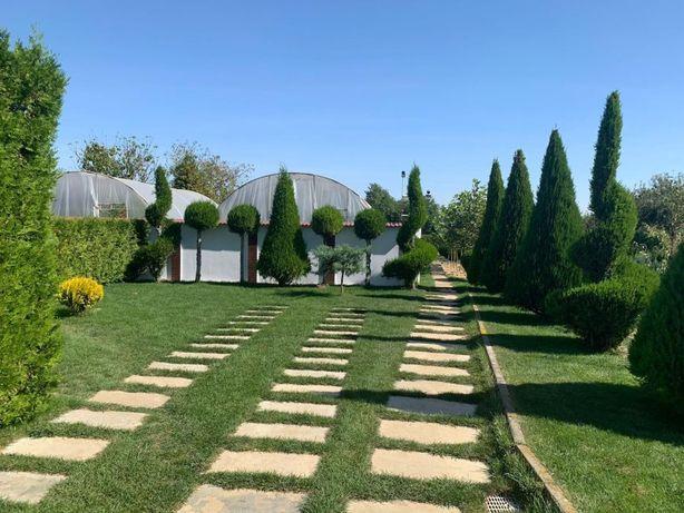 Tuia Occidentalis/ Smaragd, Magnolie GENIE,preţ de PRODUCĂTOR