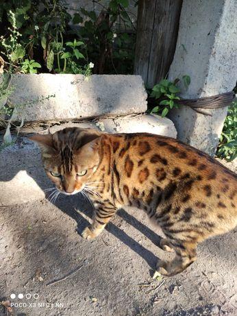Найдена кошка, породистая
