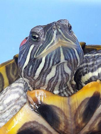 Красноухие южно-американские черепахи. Пара.
