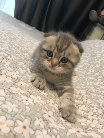 Продаётся шотландский вислоухий котёнок