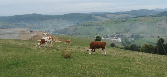 Vand vitele si juninci